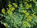 Common Rue, Garden Rue, Herb of Grace, Herbygrass Photo and characteristics