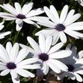 Cape Marigold, African Daisy Photo and characteristics