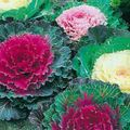 Flowering Cabbage, Ornamental Kale, Collard, Curly kale Photo and characteristics