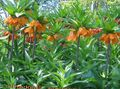 Crown Imperial Fritillaria Photo and characteristics