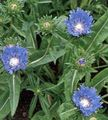 Cornflower Aster, Stokes Aster Photo and characteristics