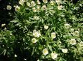 Canada Anemone, Meadow Anemone Photo and characteristics