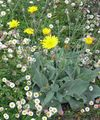 Yellow hawkweed, Fox and Cubs, Orange Hawkweed, Devil's Paintbrush, Grim-the-Collier, Red Daisy Photo and characteristics