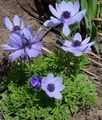 Crown Windfower, Grecian Windflower, Poppy Anemone Photo and characteristics