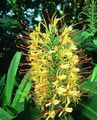 Hedychium, Butterfly Ginger Photo and characteristics