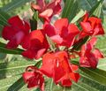 Rose bay, Oleander Photo and characteristics