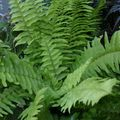 Sword Ferns Photo and characteristics