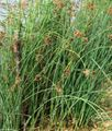 The true Bulrush Photo and characteristics