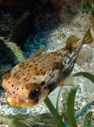 Kugelfisch auf englisch