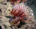 Dwarf/Zebra Lionfish  Photo and care