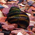 Japanese Trapdoor Snail (Pond)