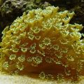 Flowerpot Coral Photo and characteristics