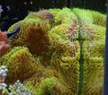 Aquarium Giant Carpet Anemone  (Stichodactyla gigantea) Photo; yellow