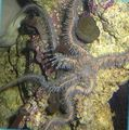 Red Brittle Star (Brittle Sea Star, Knobby Fancy)  Photo