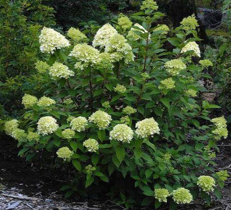 Flores de jard n hortensias pan cula hortensias rbol for Hortensias cultivo y cuidados