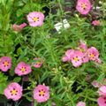 Rock rose, Sun Rose Photo and characteristics