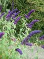 Butterfly Bush, Summer Lilac Photo and characteristics