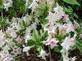 Weigela Photo and characteristics