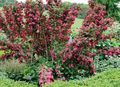 Garden Flowers Weigela  Photo; red
