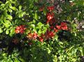 Flowering quince Photo and characteristics