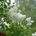 Common Lilac, French Lilac Photo and characteristics