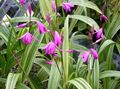 Ground Orchid, The Striped Bletilla Photo and characteristics