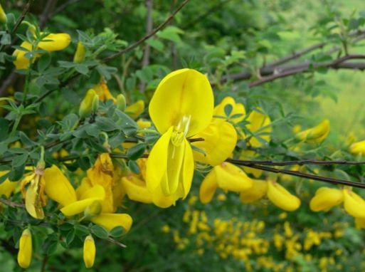 Have blomster skotsk gyvel, broomtops, almindelig gyvel ...