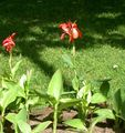 Canna Lily, Indian shot plant Photo and characteristics