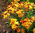 Wallflower, Cheiranthus Photo and characteristics