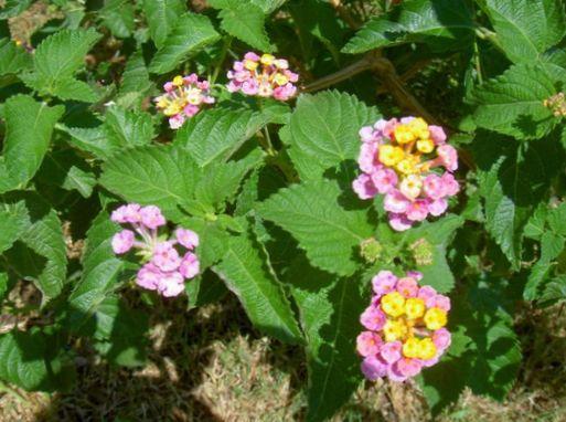 cultivo rosas jardim:Flores do Jardim Lantana foto; rosa