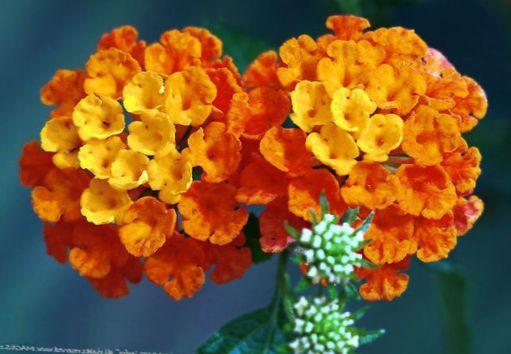 cultivo rosas jardim:Flores do Jardim Lantana foto; laranja