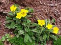 Garden Flowers Cinquefoil (Potentilla) Photo; yellow