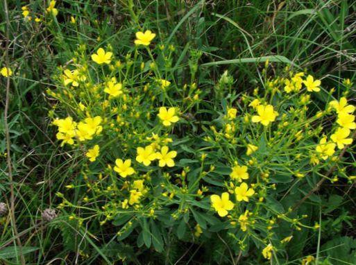 Have blomster linum staude foto, egenskaber og beskrivelse ...