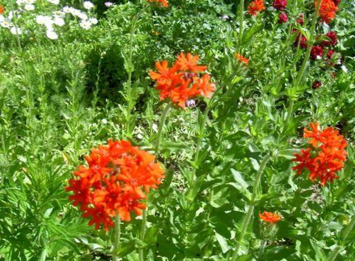 Have blomster malteserkors, jerusalem cross, london stolthed ...
