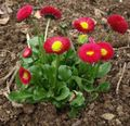 Bellis daisy, English Daisy, Lawn Daisy, Bruisewort Photo and characteristics