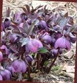 Christmas Rose, Lenten Rose Photo and characteristics