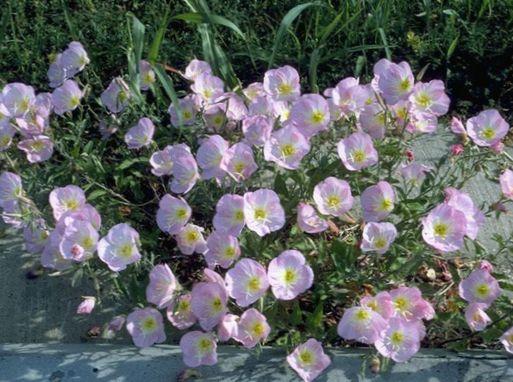 I Fiori Da Giardino Enotera Oenothera Speciosa Foto Rosa