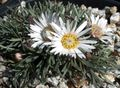 Townsendia, Easter Daisy Photo and characteristics