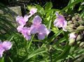 Virginia Spiderwort, Lady's Tears Photo and characteristics