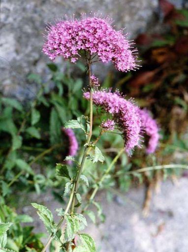 cultivo rosas jardim:Flores do Jardim Throatwort (Trachelium) foto; rosa