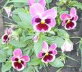 Viola, Pansy Photo and characteristics