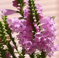 Obedient plant, False Dragonhead Photo and characteristics