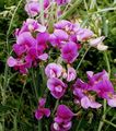 Sweet Pea, Everlasting Pea Photo and characteristics