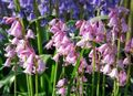 Spanish Bluebell, Wood Hyacinth Photo and characteristics