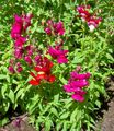 Snapdragon, Weasel's Snout Photo and characteristics