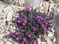 Hardy Ice Plant Photo and characteristics
