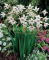 Abyssinian Gladiolus, Peacock Orchid, Fragrant Gladiolus, Sword Lily Photo and characteristics