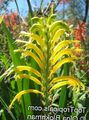 Pennants, African Cornflag, Cobra Lily Photo and characteristics
