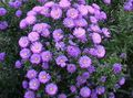 Aster Photo and characteristics