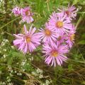 New England aster Photo and characteristics